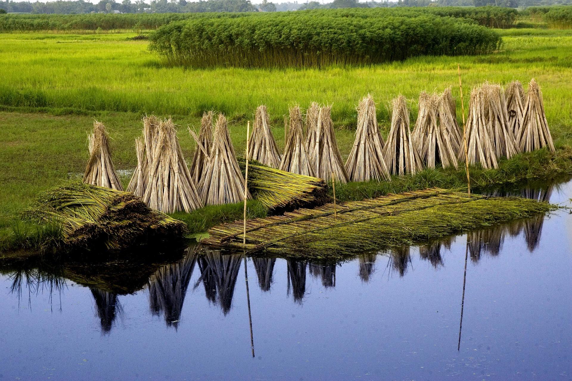 varas-de-yute- amontonadas-en-grupos-tras-cosecha-en-Bangladesh-materia-natural-propia-de-hogar-sostenible-o-ecologico
