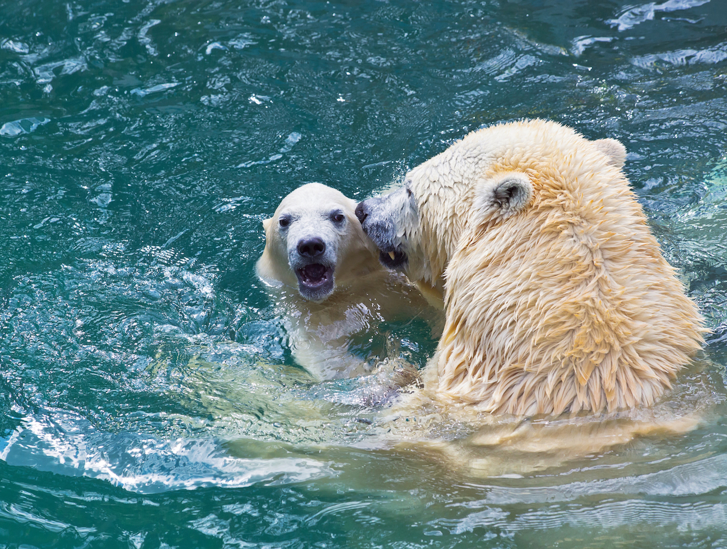 oso polar-jugando-con-su-cria-en-el-agua