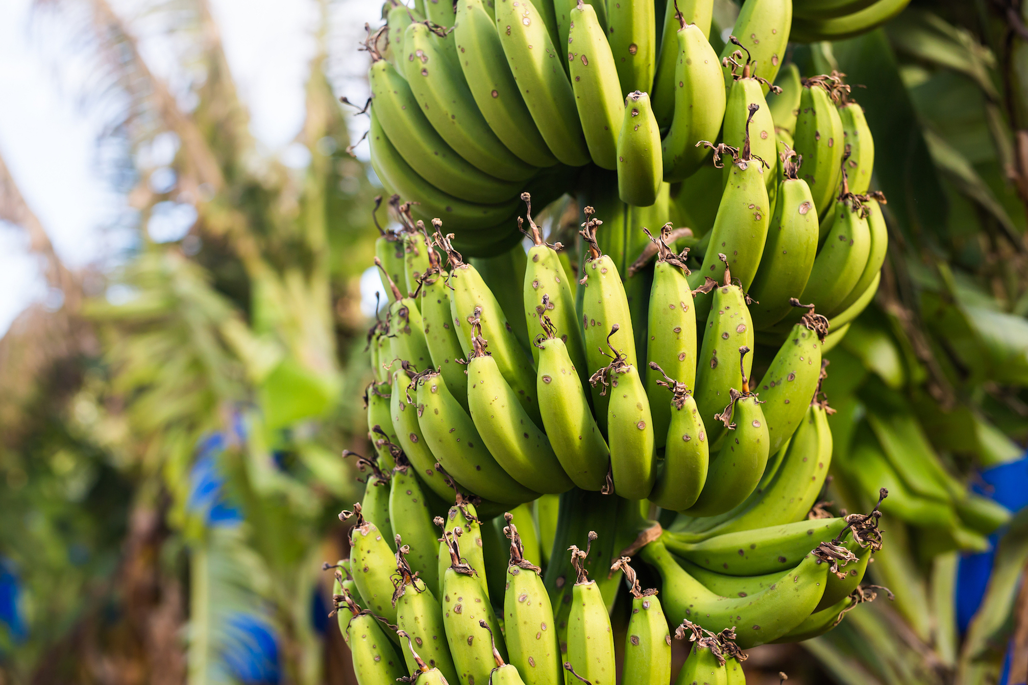 bananas-colgando-de-bananero-en-plantacion-de-bananas