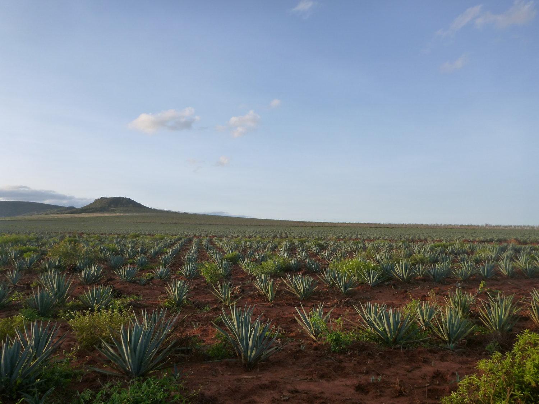 Plantación-de-sisal-materia-natural-propia-de-hogar-sostenible-o-ecologico