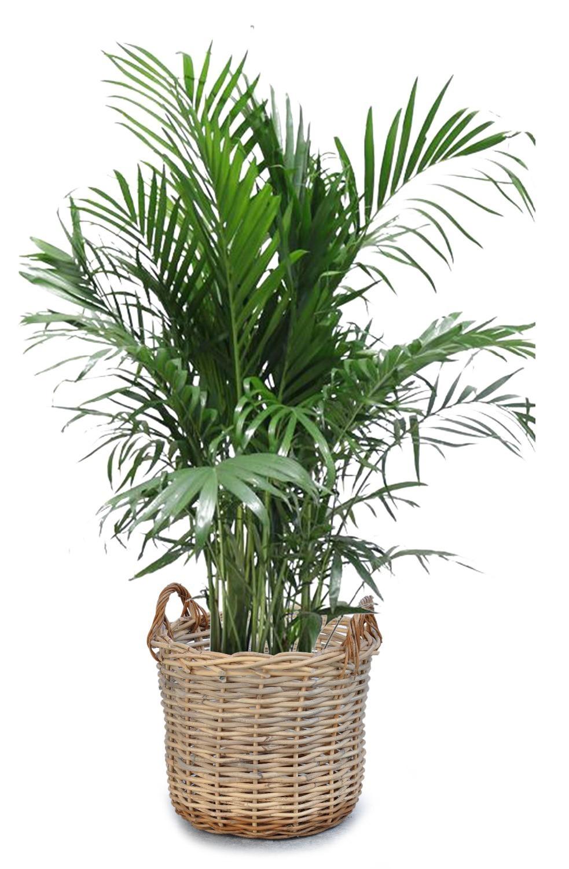 cesto-de-mimbre-recio-y-grande-para-plantas